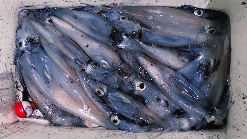 cooler of freshly caught squid in Seattle
